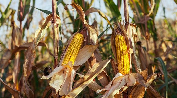 Corn farming - agriculture business ideas