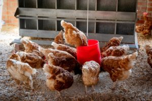 10 Simple Steps to Start Poultry Farming Business – Complete Plan