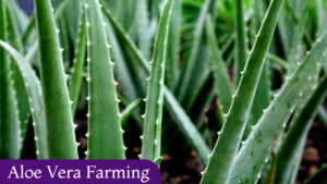 Aloe Vera Farming Business – Cost & Margin 2020
