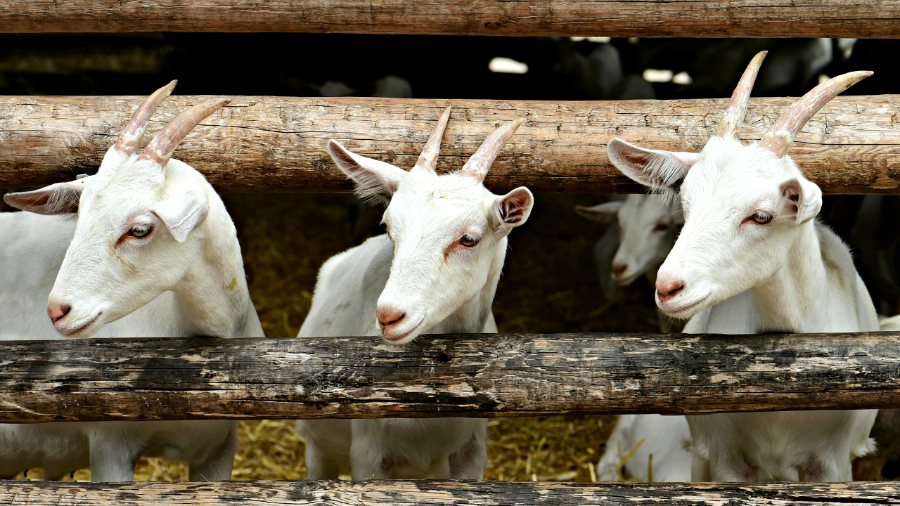 How To Start Goat Farming – 8 Steps To Success in 2020